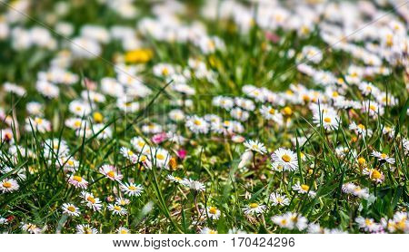 Field With Little White Chamomile