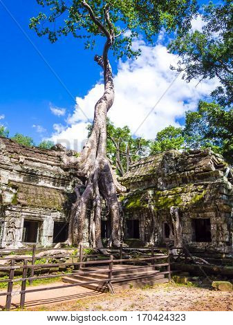 Roots of a silk-cotton tree running along the old ruins of Ta Phrom Temple, Angkor, Siem Reap Province, Cambodia