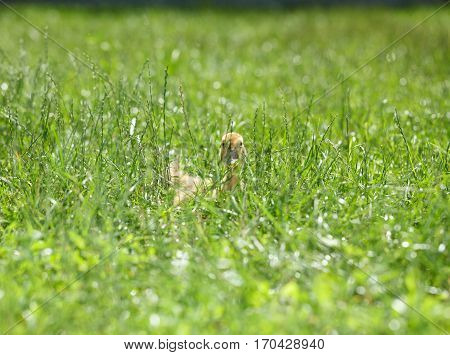 Chick Hidden In Grass