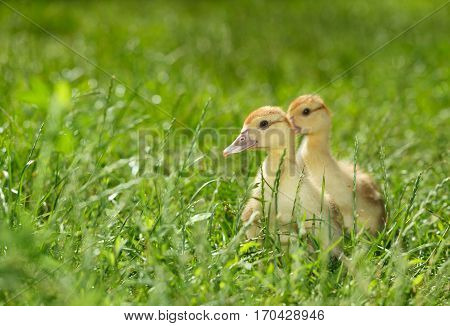 Two Duckling On Green Meadow