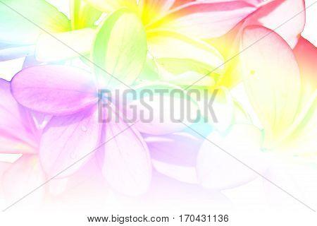 Beautiful flowers frangipani (plumeria) on white background