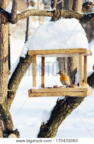 Robin (Erithacus rubecula) is sitting on handmade bird-feeder with crumbs and nuts winter scene