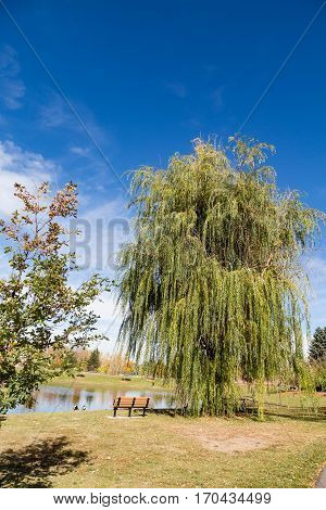 Weeping Willow in Park by bench and lake