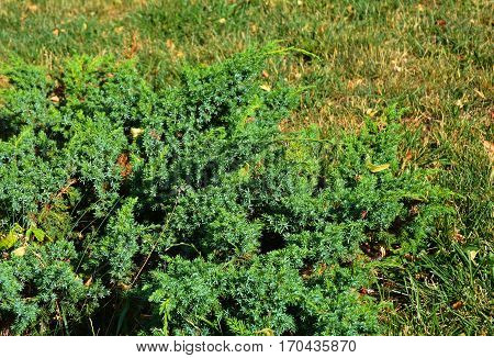 Green and blue juniper bush in landscape garden design.