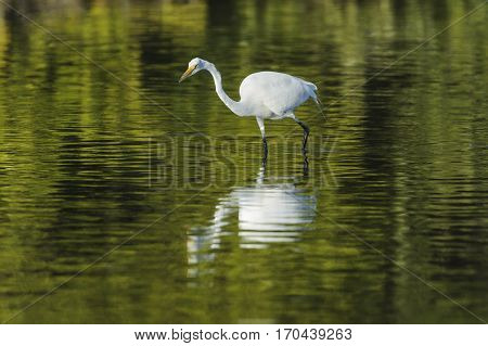 Great Egret intent on finding prey in Fort De Soto lagoon