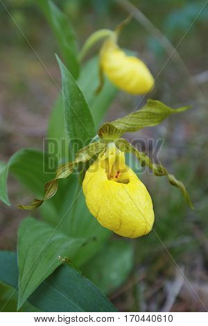 Yellow Lady's Slipper Blooming In June