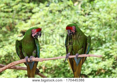 Two Parrots on a Branch, One Talking and One Listening