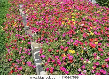 Rose Moss blooming (Portulaca pilosa) garden flowerbed.