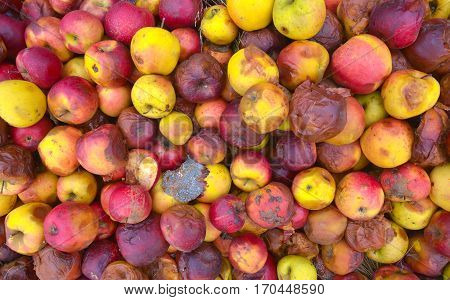 Rotten Apple, Many Apple