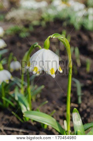 Snowdrop White Flowers