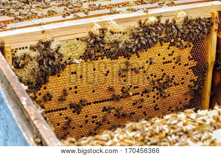 Bee larvae in the hive on a honeycomb.
