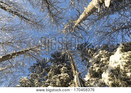 The tops of the trees in winter