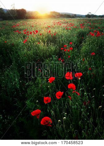 poppy field in the sunset, nature background