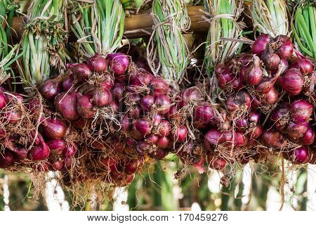 fresh onions from harvesting hang on bamboo stick