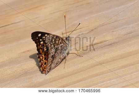 Beautiful vibrant natural insect, butterfly resting on wood background.
