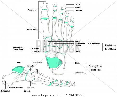 Human Foot Bones Anatomy Diagram in anatomical position Front and Lateral View with all bone names and joints for Medical Education