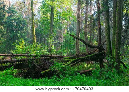Sunbeam entering rich deciduous riparian stand in midday just rain after, Bialowieza Forest, Poland, Europe
