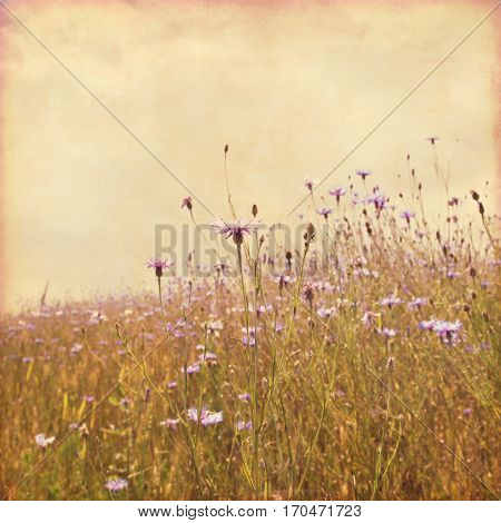 Summer field with cornflowers in grunge and retro style.