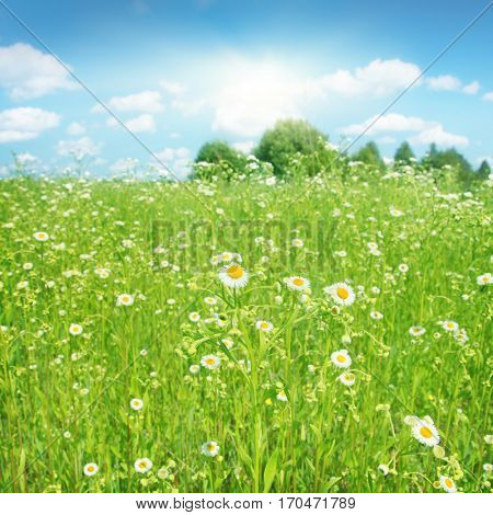 Summer landscape with daisy field, blue sky and sun.