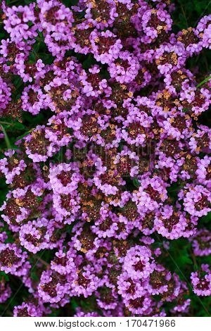 Common Thyme or Garden thyme, or Wild Thyme is a well know variety of thyme with  pink flowers. Botanical name is Thymus vulgaris