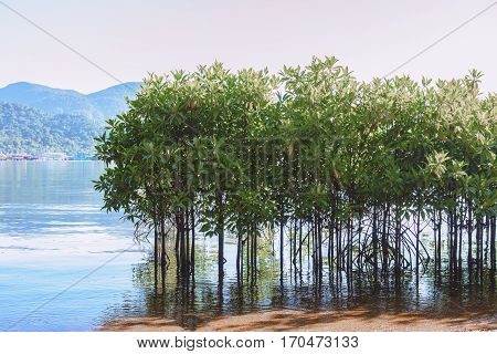 Mangroves growing in shallow sea Bang-Bao Bay in Koh Chang Island Trat Province Thailand.