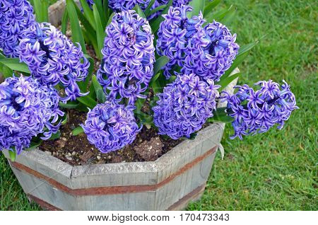 Beautiful purple hyacinth flowers in wooden planter