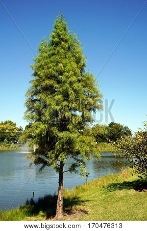 A Japanese cedar tree (Cryptomeria japonica) stands next to a small, man-made lake in Joliet, Illinois during September.