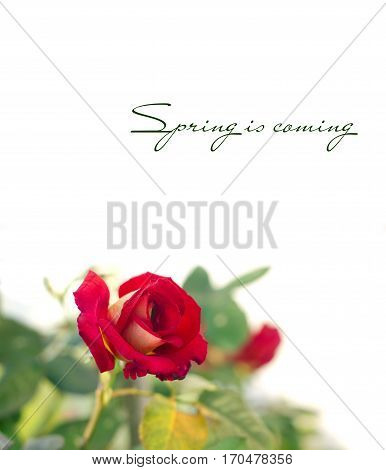 Single Red rose with leaves on white background and spring is coming