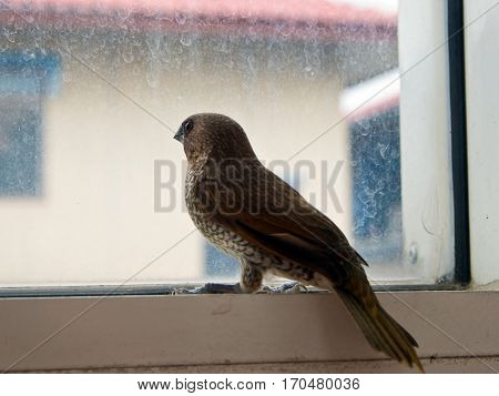 Scaly-breasted Munia Bird at the glass window