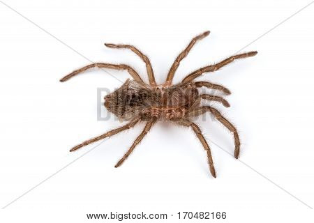 Isolated shoot of spider's pelt on white background