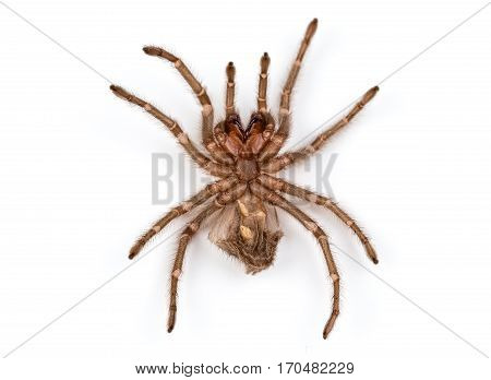 Isolated photo of brown spider's molt on white background