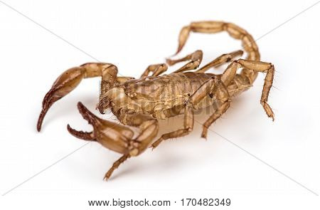 Isolated photo of scorpion on white background