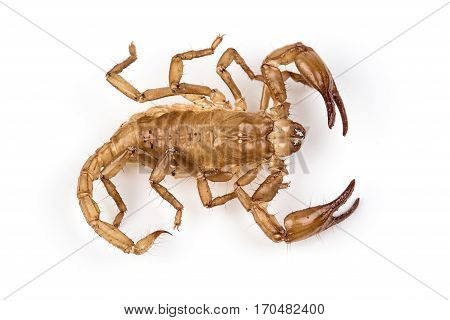 Isolated photo of brown scorpion's pelt on white background