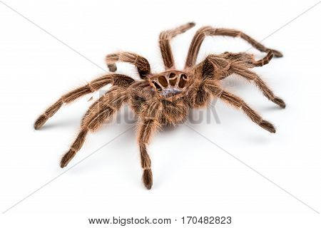 Macro photo of brown spider's molt on white background