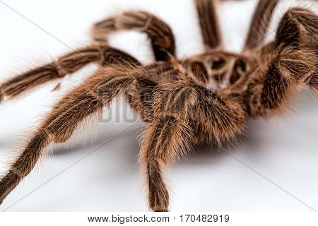 Macro photo of brown spider's pelt on white background