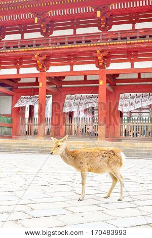 Japanese sika deer in front of Todaiji temple Nara Japan