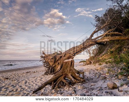 Beach with a blown down tree