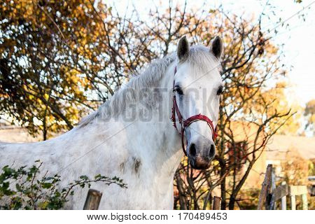 Portrait Of Beautiful White Horse In The Forest