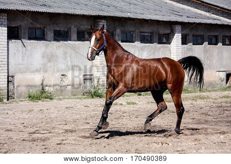 Beautiful Bay Horse Playfully Running