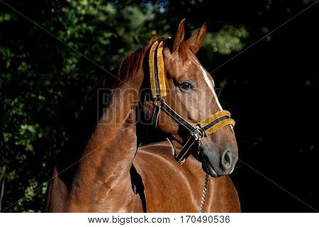 Beautiful Chestnut Horse Portrait In The Forest