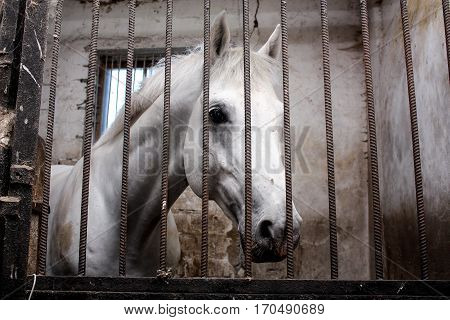 Portrait Of White Horse In The Stall