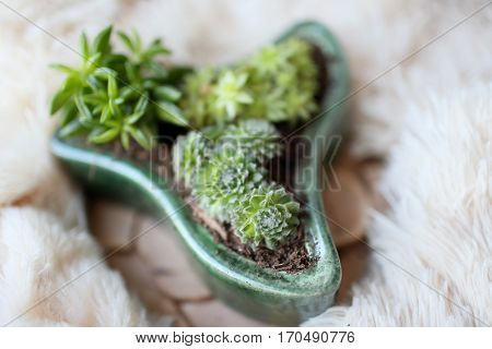 Mixed succulents and cacti in a pot with unusual shapes. Picture with a blurred background is well suited for use as backgrounds or wallpapers.