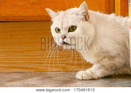 frightened purebred pet cat sneaking out of the shelter