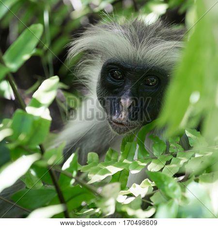 curious shaggy ape on a tree in Jozani Chwaka Bay National Park, Zanzibar