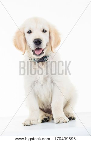 portrait of a seated panting golden lacrador retriever puppy dog in studio