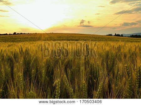 Summer meadows and fields landscape in Slovakia. Cornfield, gold grass and blue sky panorama.