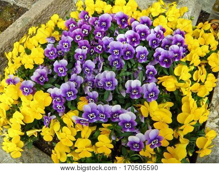 Bunch of vivid yellow and violet blooming Pansy flowers