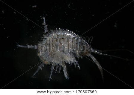 Crustacean Amphipoda by microscope. Gammarus pulex. Aquarium feeds suitable for fish, reptiles, birds