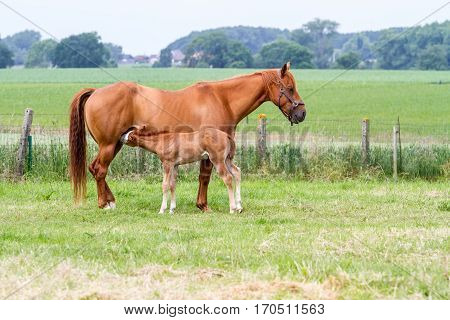 on the field is the drinking foal his mother horse