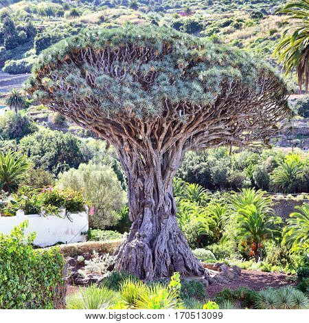 Gigantic old Dragon tree (Dracfena draco) in Icod de los Vinos, Tenerife